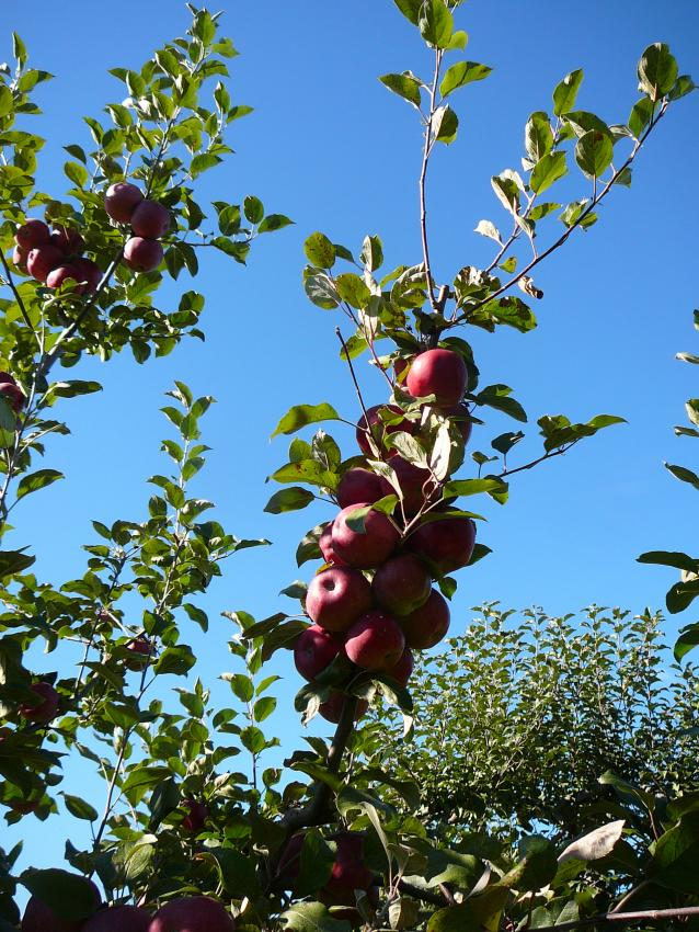 Apples in the Orchard at Grand Pre National Historic Site